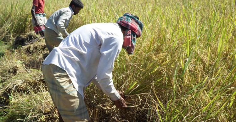 সুনামগঞ্জে শ্রমিক সংকট, ধান কাটা নিয়ে দুশ্চিন্তায় কৃষক