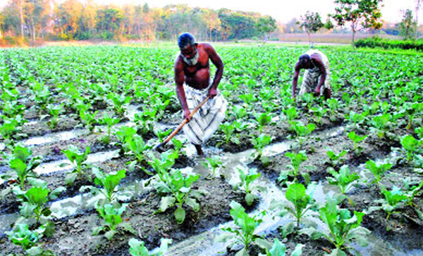 কমলগঞ্জে আকস্মিক বৃষ্টিতে শীতকালীন শাকসবজির ক্ষতি