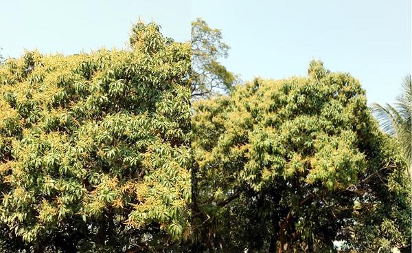 জলবায়ু পরিবর্তনে সিলেটে গাছে গাছে আমের মুকুল