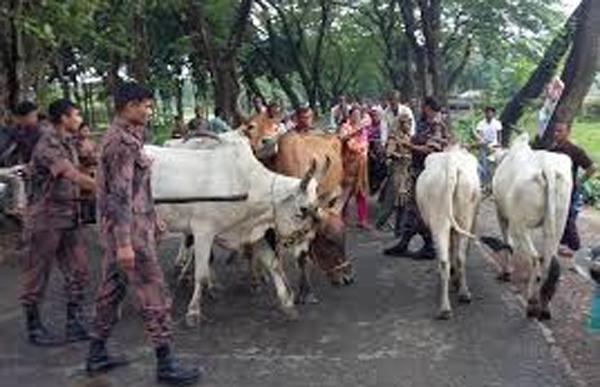 জৈন্তাপুরে বিজিবি'র ষ্পেশাল টিমের  অভিযানে ১২ গরু আটক