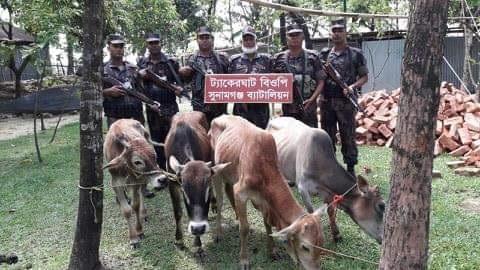 তাহিরপুরে বিজিবি'র অভিযানে ভারতীয় গরুর চালান আটক