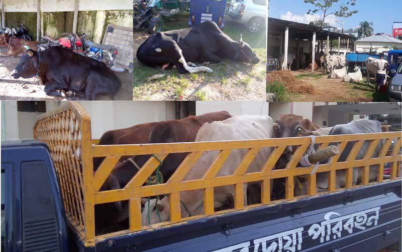 কানাইঘাট ভারতীয় গরু আটক অভিযানে ব্যস্ত পুলিশ