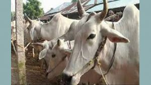 জৈন্তাপুরে বিজিবি'র হাতে ৬টি গরু আটক