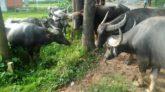 কানাইঘাটে ২০টি মহিষ চুরি, মামলা রেকর্ডের নির্দেশ দিয়েছেন আদালত