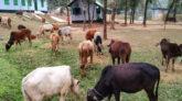জৈন্তাপুর সীমান্তে বিজিবি'র অভিযানে ২১টি ভারতীয় গরু আটক