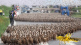 পাকিস্তানে পঙ্গপাল নিয়ন্ত্রণে এক লাখ হাঁস পাঠাবে চীন