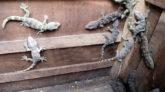 জকিগঞ্জ থেকে উদ্ধার হওয়া ২৫টি তক্ষক খাদিমে অবমুক্ত
