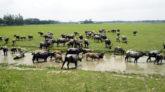 কানাইঘাটে হাওর থেকে ১৫টি মহিষ চুরি