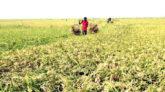 সুনামগঞ্জে হাওরে বোরো ধানের বাম্পার ফলন, শ্রমিক নিয়ে শঙ্কা