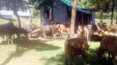 জৈন্তাপুরে বিজিবি'র পৃথক অভিযানে ৫৪টি গরু মহিষ আটক